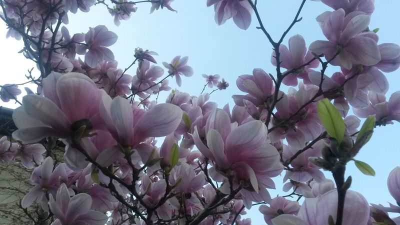 Pink tulip tree Tree Tulip Tree Tulip Tree Branch Blossoming Spring Time EyeEmNewHere