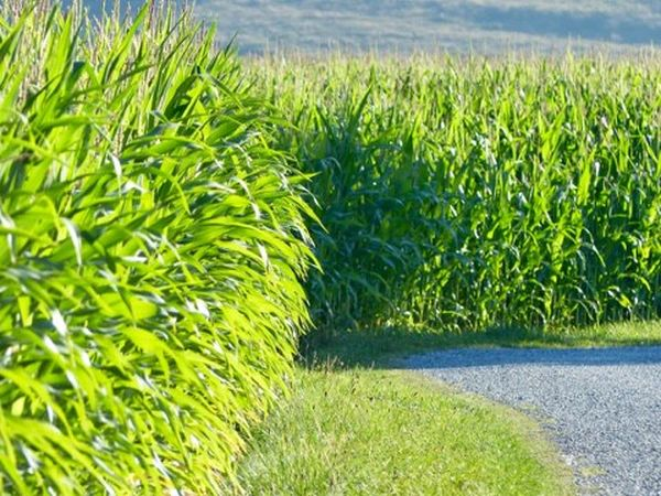 This Is What I Saw Maisfeld Corn Beautiful Nature Landscape_photography Landscape_Collection