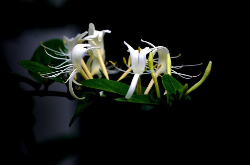 EyeEm Best Shots EyeEm Nature Lover Honysuckle Black Background Flower Flower Head Studio Shot Close-up Blooming Perfume Petal Pollen Stamen