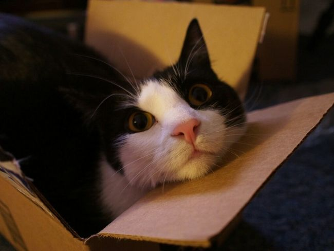 Luna trying to fit into too small of a box. :) Cat Animals Cats Pets Kitty Animal Pet Cute My Cat Caturday Adorable Feline