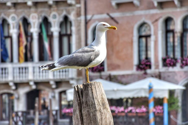 Seagull perching on wooden post against buildings