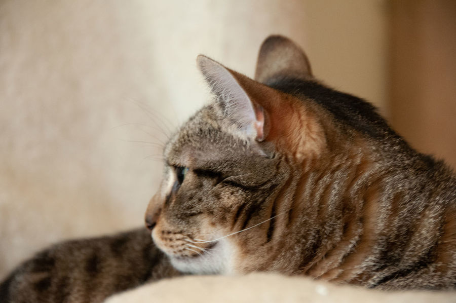 Cat looking & thinking Animal Animal Head  Animal Themes Cat Close-up Domestic Domestic Animals Domestic Cat Eyes Closed  Feline Indoors  Looking Mammal No People One Animal Pets Profile View Relaxation Resting Selective Focus Tabby Vertebrate Whisker