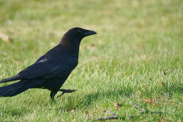 Bird Grass Nature Animals In The Wild Animal Wildlife Outdoors No People Day Crow American Crow Connecticut Tolland, Connecticut One Animal