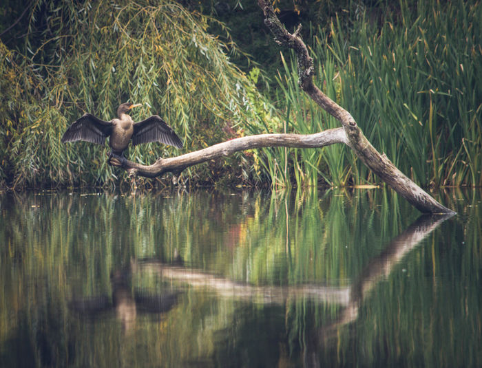 Animal Themes Animals In The Wild Beautiful Nature Beauty In Nature Bird Wings Comorant EyeEm Nature Lover Nature Nature_collection Riverside Photography Wildlife & Nature Wildlife Photography