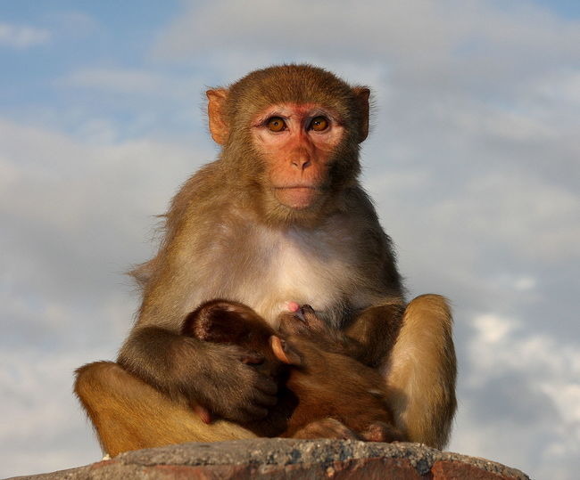 Animal Family Animal Themes Mammal Monkey Monkey Temple Mother's Love Nepal Nepal Travel Pet Portraits