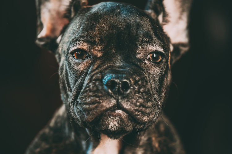 Close Up Eye Of Young Black French Bulldog Dog Puppy. Funny Dog Baby Looking At Camera Dog Pets Portrait Black French French Bulldog Purebred Breed Funny Animal Snout Looking Young Puppy Baby Camera Ears