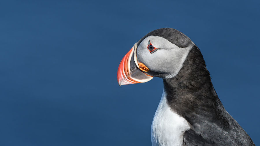 Puffin enjoys a beautiful day on the Langanes Peninsula bird cliffs in north Iceland Beak Cliffs Coastline Iceland Puffin Travel Bird Bird Cliffs Birds Blue Cliff Close Close-up Coast Langanes Ocean Ornithology  Portrait Puffins Sea