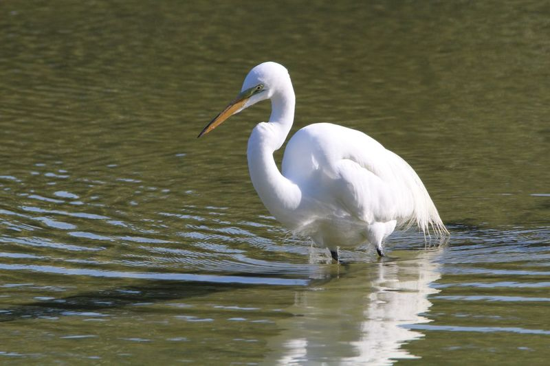 Animals In The Wild White Color Animal Themes One Animal Lake Water Bird Animal Wildlife Day Great Egret