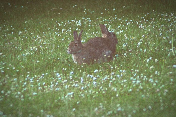 The two headed rabbit very rare only found in Burscough so Keep Your Eyes Open .