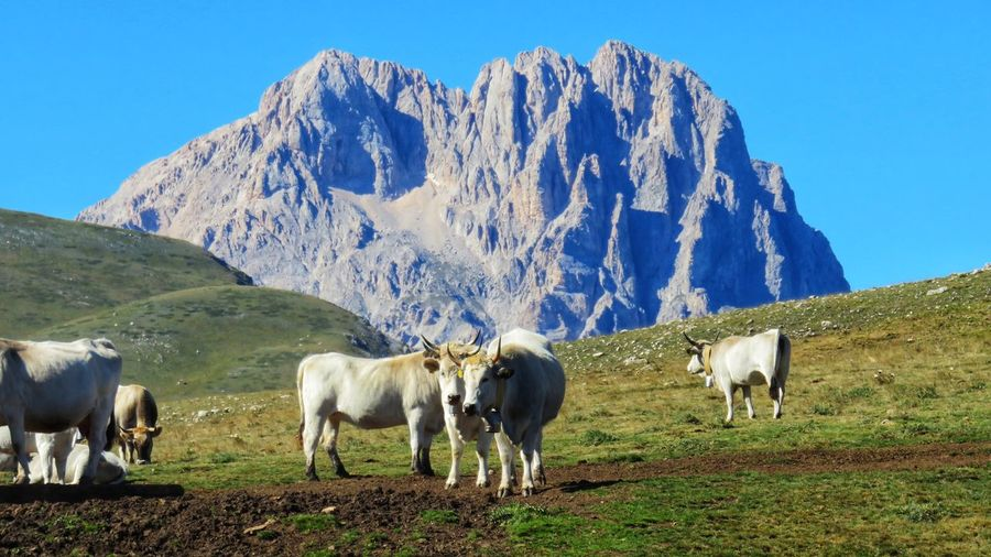 cows grazing in campo imperatore Corno Grande Gran Sasso D'Italia Racollo Lake Abruzzo - Italy Cows Domestic Domestic Animals Group Of Animals Herbivorous Livestock Mountain Mountain Range Nature