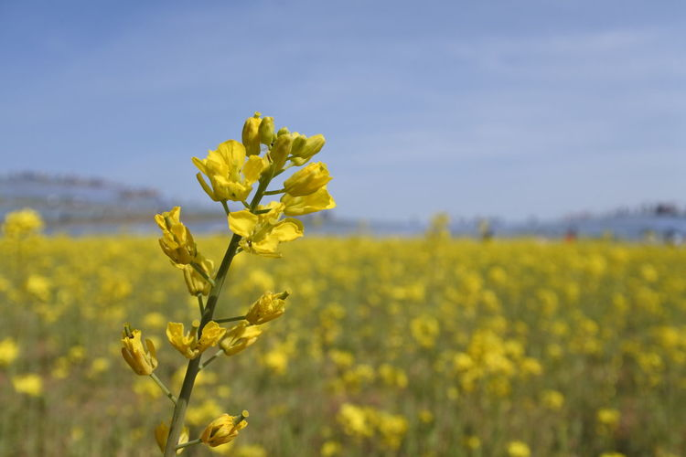 Close-up of fresh yellow flowers in field