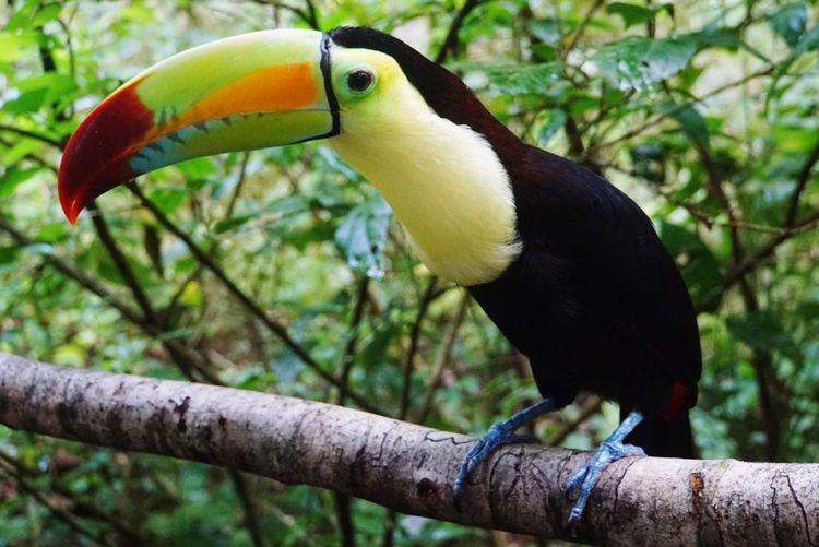 Hornbill Bird Beak One Animal No People Animal Themes Animal Wildlife Branch Day Outdoors Animals In The Wild Nature Belize Zoo Belize  Toucan