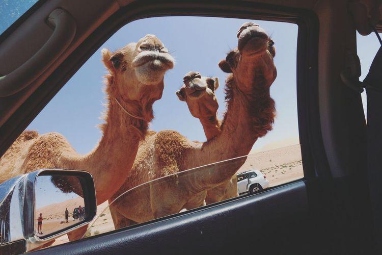 Peep show 😂😂 Camels Peeping Animals Wahiba Sands Desert Oman Arabian Peninsula Desert Hotday EyeEm Selects Vehicle Interior Window Looking Through Window Car Day Car Interior Desert