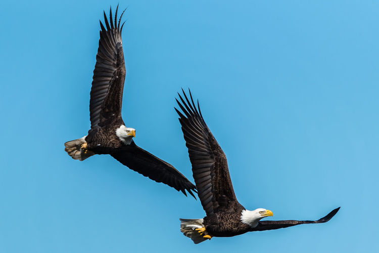 Close-Up Of Two Eagle Flying