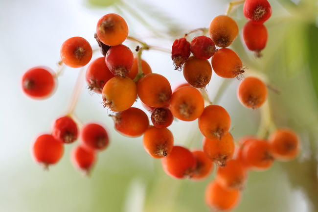 Berries on the tree in a special light Premium Collection EyeEm Premium Collection Growth Branch Macro Macro Photography Macro_collection Garden EyeEm Nature Lover EyeEm Gallery Beauty In Nature EyeEm Best Shots Nature Photography Eyeembestshots-nature EyeEmBestPics Tree Trees Berries Orange Close-up Focus On Foreground Nature No People Orange Color Plant Selective Focus Plant Life EyeEmNewHere The Great Outdoors - 2018 EyeEm Awards