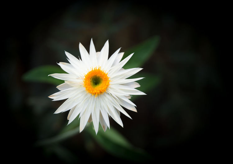 White everlasting flower isolated on black Autumn Garden