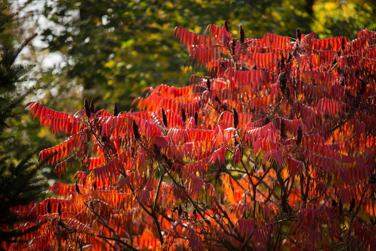 Plant Red Growth Tree Nature Beauty In Nature No People Day Outdoors Branch Fragility Tranquility Rhus Rhus Typhina Staghorn Sumac Shrub Autumn Autumn colors Autumn Leaves Staghorn Red Leaves Deciduous Deciduous Tree Flowering Plant Flowering Tree Autumn Mood