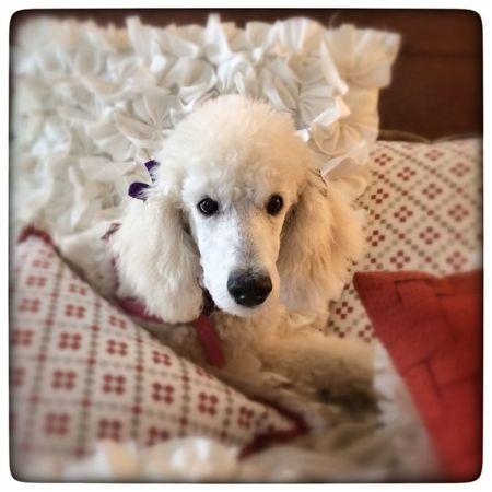 My Dogs Are Cooler Than Your Kids Dog I Love My Dog Dogstagram My Dog Dog Walking Standardpoodle Standard Poodle Ariel Cute Pets