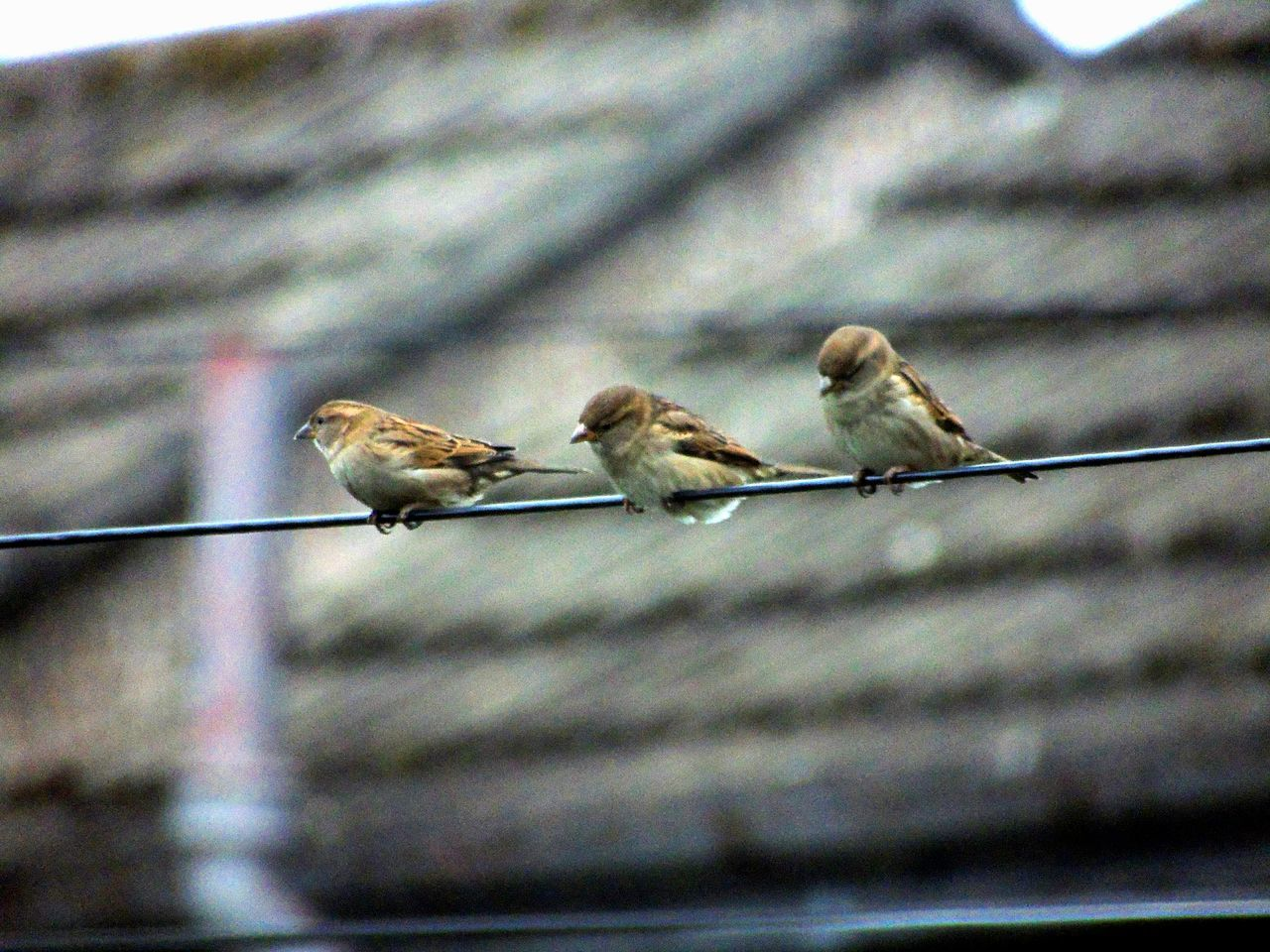 bird, animals in the wild, animal themes, sparrow, animal wildlife, day, no people, nature, perching, outdoors, close-up