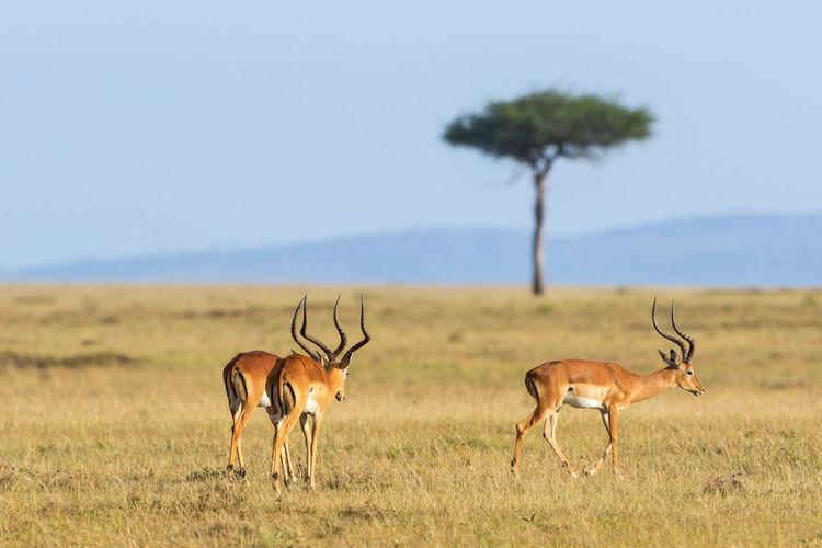 Impala antelope walking on grass landscape in masai mara national reserve