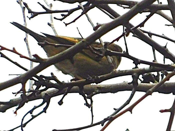Finch Bird Bird