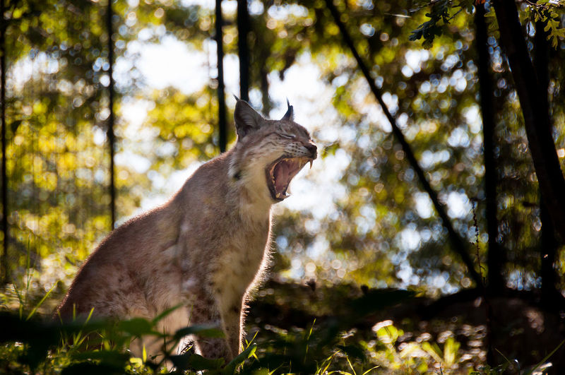 Side view of lynx with mouth open wide in forest