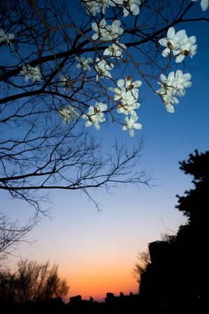 City trees Tree Beauty In Nature Flower Nature Branch Fragility Sky Blossom Growth Sunset Low Angle View Freshness Springtime Tranquility Outdoors Petal Clear Sky Evening Evening Sky Cityscape Scenics Tokyo Tokyo,Japan