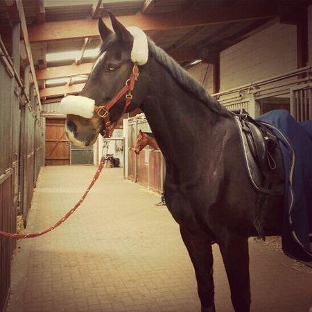 Plüschpony ♥ Horse Riding Horse Riding Reiten Pferd Dressage Equestrian Dressur Holsteiner Dressagehorse Dressurpferd