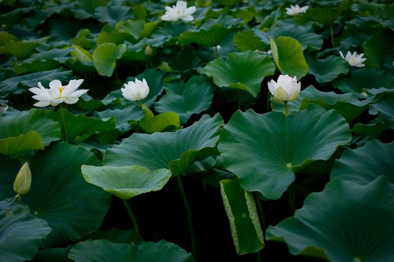Leaf Flower Green Color Growth Beauty In Nature Nature Plant Freshness Petal Outdoors No People Flower Head Fragility Blooming Day Close-up Lotus Leaf Lotus Flower Water Lily Lotus Water Lily Lotus Growth