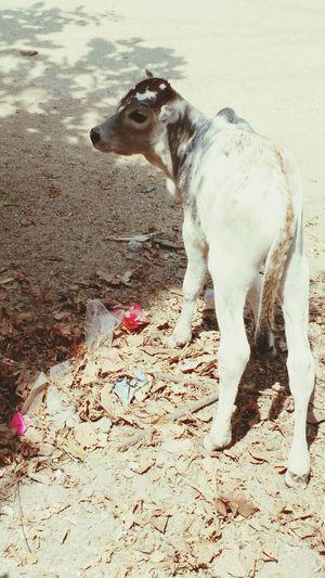 Just born calf. Common in Indian urban areas. If the same happens in rural India? The calf will have proper care and shelter. ఇప్పడే పుట్టిన లేగదూడ. ఇదే పల్లెలలో అయితే ప్రాణంగా చూసుకొంటారు. పట్టణాలలో ఇంతే మరి.