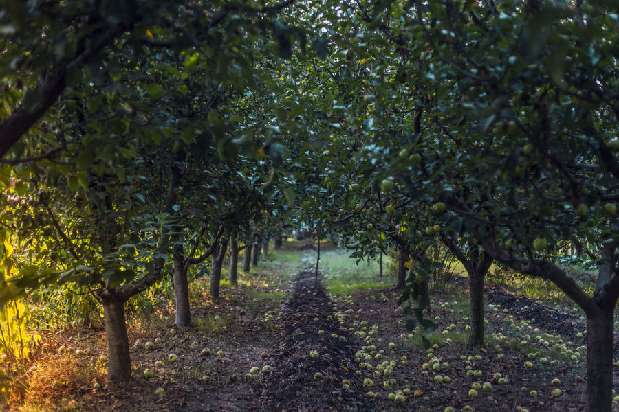 Apple trees Tree Growth Nature The Way Forward Outdoors No People Beauty In Nature Day Branch Apple Apple Tree Apple - Fruit Apple Blossom Apple Trees Garden Appletree Apples Apple Orchard