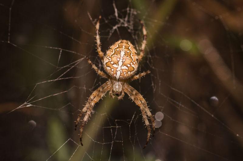 Arachnid Spider