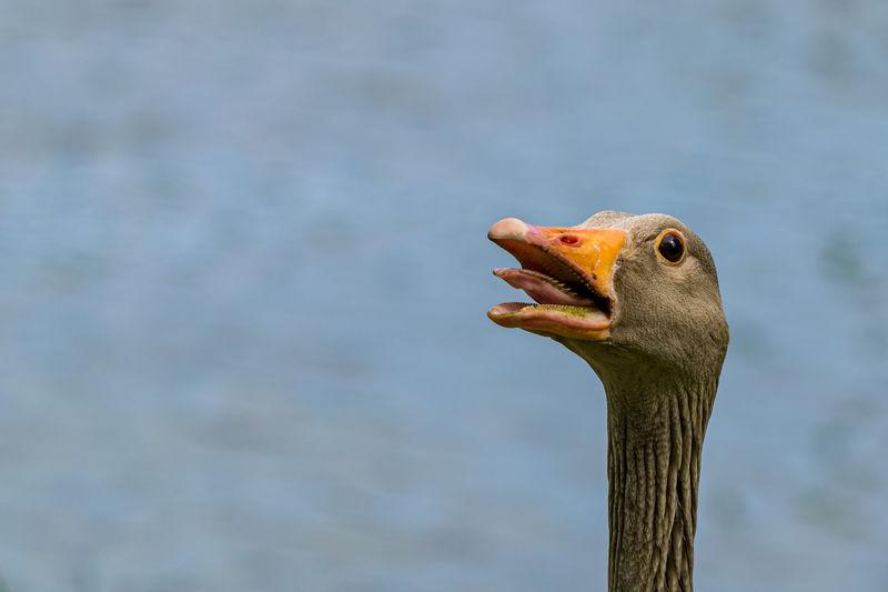 Angry greylag goose, anser anser