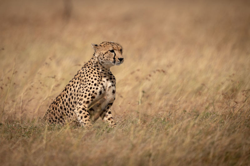 Cheetah sitting in long grass facing right Acinonyx Jubatus Cheetah Predator Carnivore Big Cat Cat Africa Kenya Masai Mara Kicheche Animal Wildlife Nature Travel Wilderness Animals In The Wild Animal Themes Animal Wildlife Feline One Animal Mammal Safari Grass No People Plant Selective Focus Spotted Vertebrate Animals Hunting Undomesticated Cat Outdoors
