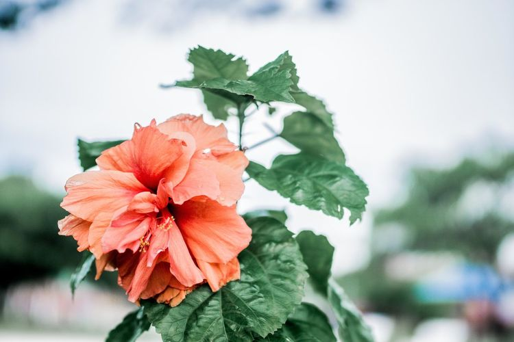 Close-Up Of Red Hibiscus Blooming In Park