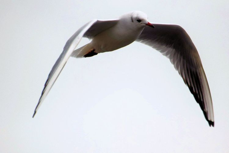 Flying Seagull Animal Themes Animal Wildlife Animals In The Wild Bird Clear Sky Day Flying Low Angle View Nature No People One Animal Outdoors Seagull SEAGULL IN FLIGHT Spread Wings Blackheaded Gull blackheadedsesgull