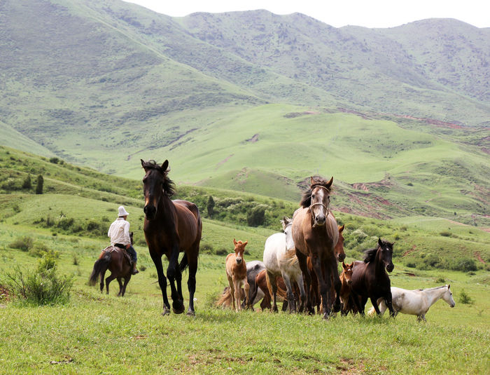 Horses On Mountain