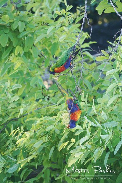 Rainbowlorikeet Sydneyinnerwest Marrickville