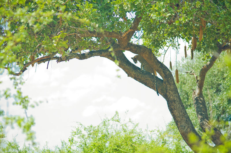 leopard on a tree Africa African Safari African Safari Wildlife Park African Savannah Beauty In Nature Branch Day Green Color Leopard Leopard On A Branch Leopard On A Tree Nature Outdoors Tanzania Tanzanianationalparks Tranquility Tree Wildanimal Wildlife