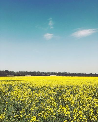Sky Agriculture Landscape Field Yellow Beauty In Nature Flower Land Plant Scenics - Nature Tranquil Scene Growth Rural Scene Tranquility Environment Farm Flowering Plant Idyllic Crop  Nature