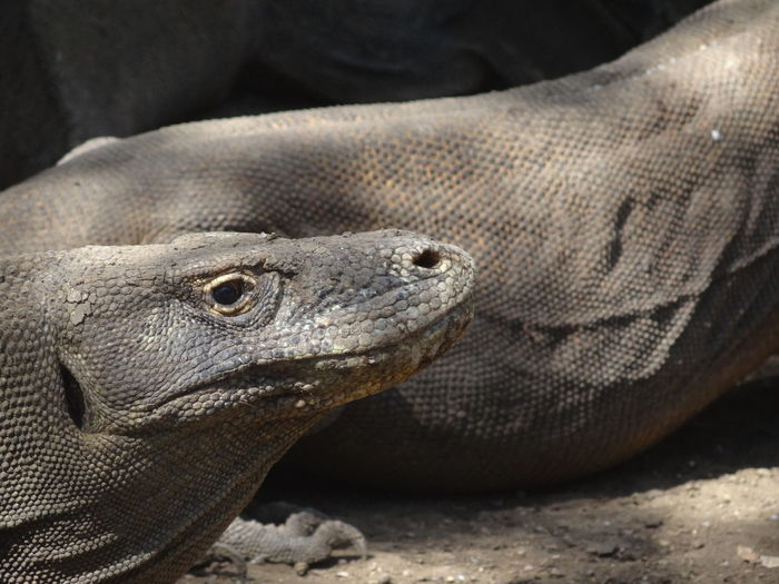 Komodo dragon at Komodo Island, Flores, Indonesia Dino Dinosaur Dinosaurier  Echse Giant Godzilla Komodo Dragon Lizard Riesenechse Urzeitechse Amphibian Animal Animal Themes Animal Wildlife Animals In The Wild Day Komodo Komodo Island Komodo National Park Komodonationalpark Komodowaran  Nature Scales Sunlight Urzeit