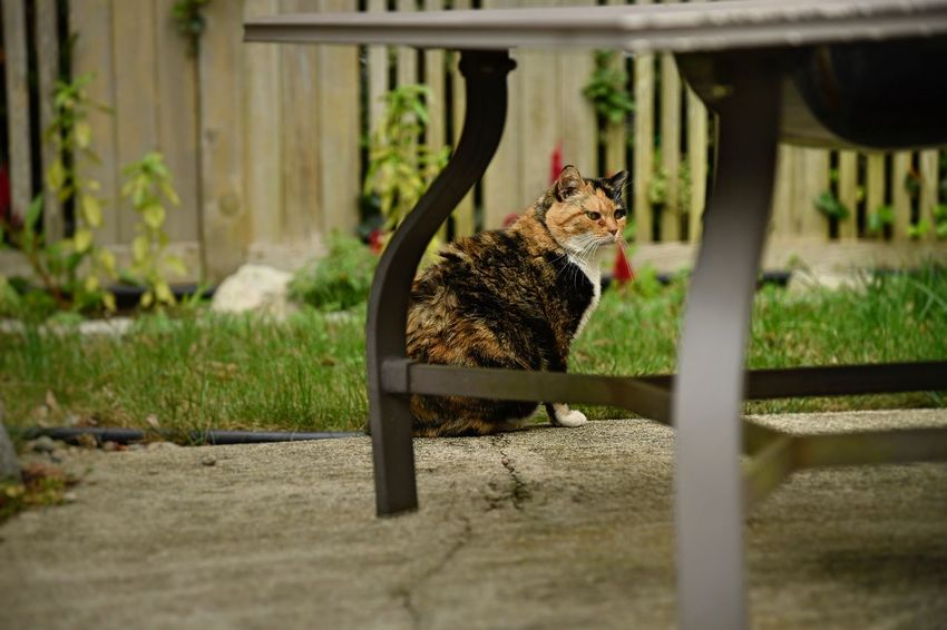 A calico cat sits in the back yard Cat Outside Cats Afternoon Meow Mammal Vertebrate Animal Pet Calico One Animal Domestic Animals Feral Cat Selective Focus Feline Day Portrait Sitting Nature Looking Full Length Domestic No People Backyard Beauty In Nature Outdoors EyeEmNewHere