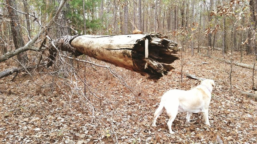 Forest Woods Trees Decay Dead Trees Through The Trees Broken Tree Selective Focus Yellow Lab Yellow Labrador Labrador Retriever Labrador Pets My Pet Pets Daily Hello World Check This Out