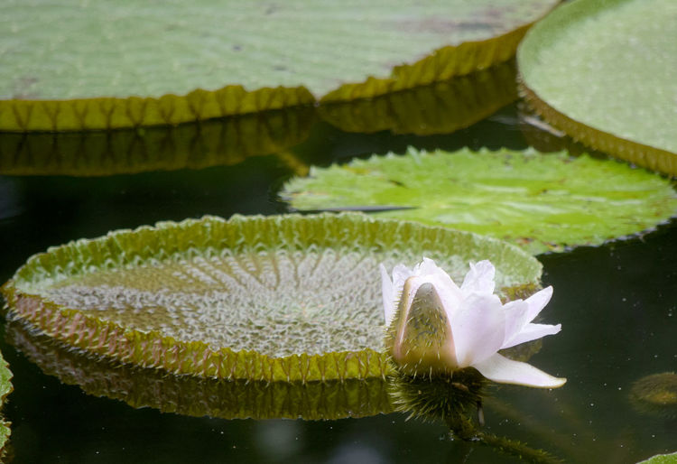 Water lily just