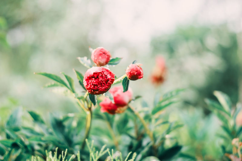 Beautiful peonies blooming in garden. Floral spring and summer abstract background in soft tones Red Freshness Growth Plant Beauty In Nature Close-up Nature Day Flower Selective Focus Green Color Outdoors Flower Head Flowering Plant Garden Summer Peony  Garden Photography Garden Flowers