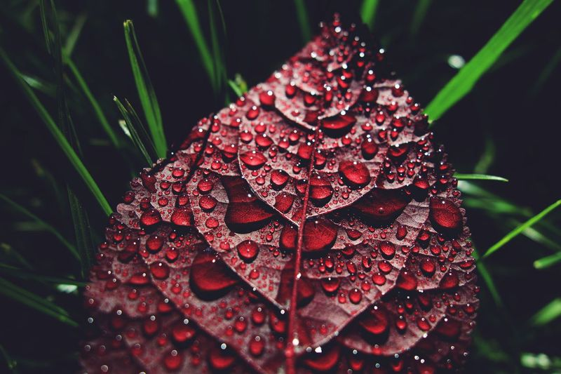 Close-up of wet red leaf