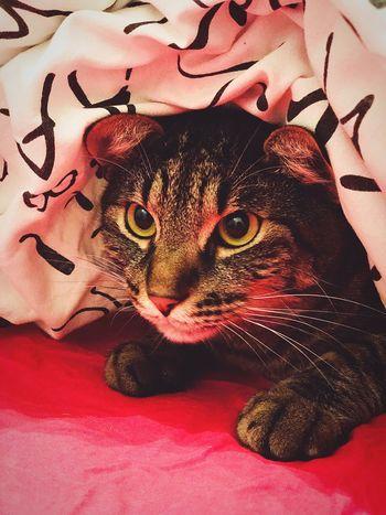 Cat Feline Domestic Cat Animal Themes Pets Animal Vertebrate Domestic Animals Bed