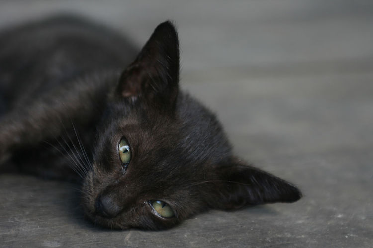 Young black cat is chill out at the ground Black Cat Chill Out Chillen Animal Animal Body Part Animal Eye Animal Head  Animal Themes Cat Close-up Domestic Domestic Animals Domestic Cat Ears Eyes Feline Focus On Foreground Looking At Camera Lying Down Mammal No People One Animal Pets Portrait Puppy Relaxation Vertebrate Whisker Young Animal