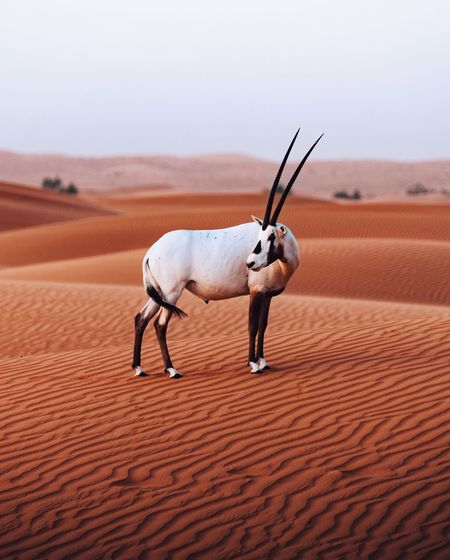 Wild animal looking away standing on desert against sky