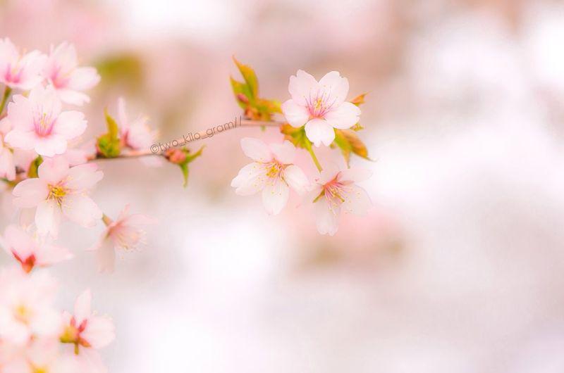 shrouded in light of spring Eye4photography  Sakura EyeEm Nature Lover Nature_collection